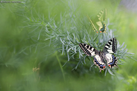Old Word Swallowtail / Macaone (Papilio machaon)